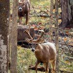 Trophy buck hunting