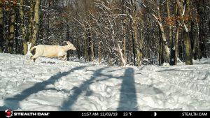 A white whitetail doe on the run