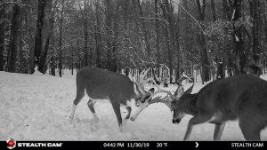 Bucks in Rut