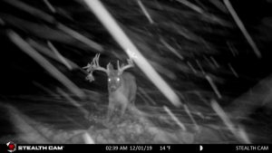 Whitetail in a Blizzard