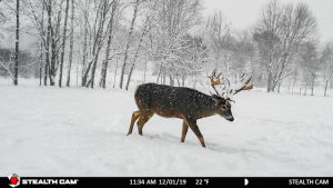 Bucks wading through the snow